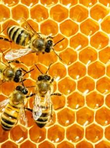 bees-venom